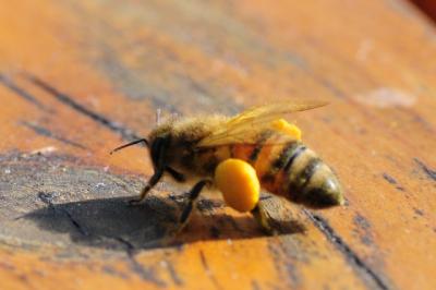 """Fleißiges Bienchen mit """"Pollenhöschen"""""""