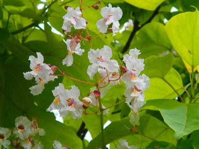 Blütenstand eines Trompetenbaums am Lärmschutzwall