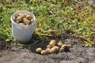 Frühkartoffeln bringen in diesem Jahr trotz Trockenheit im Lausitzer Sandboden gute Erträge und schmecken hervorragend, hier auf einer kleinen Parzelle in Lindenau