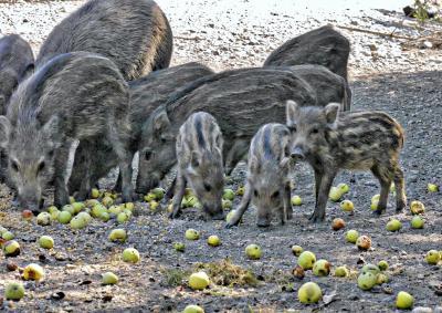 Foto zur Meldung: Wildschweine: Bitte nicht füttern
