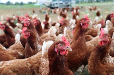 Vorschaubild zur Meldung: Glückliche Hühner in Tempelfelde