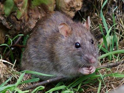 Foto zur Meldung: Rattenbekämpfung Bocksrade