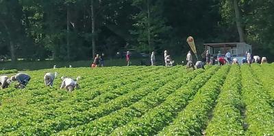 Das Erdbeerfeld in Struckum. Die Zeit fürs Selbstpflücken ist allerdings bereits beendet.