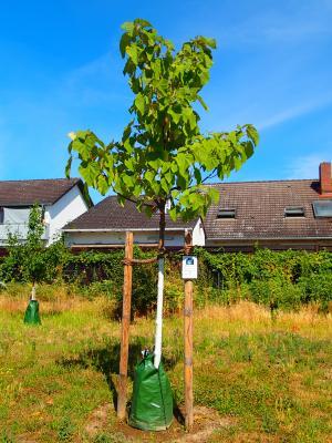 Foto zur Meldung: Baum des Monats – Der Blauglockenbaum (Paulownia tomentosa)