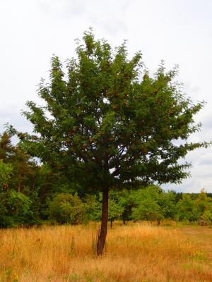 Foto zur Meldung: Baum des Monats – Der Speierling (Sorbus domestica)