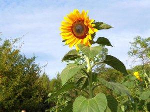 Blüht vom Sommer bis zum Herbst: Die Sonnenblume - Liebling der Insekten und Vögel - Foto (c) Brigitta Möllermann