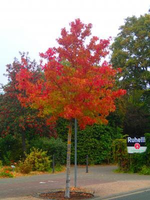 Amberbaum in der Konrad-Adenauer-Allee