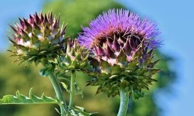 Bild der Meldung: Bitte bitter - Heilpflanzen für Leber und Galle