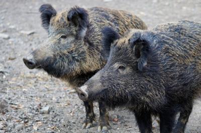 Foto zur Meldung: Landkreis wappnet sich gegen Afrikanische Schweinepest