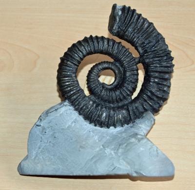 Ammonit aus dem NHMS