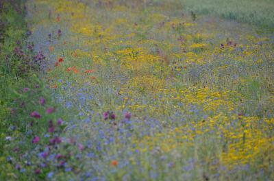 Vorschaubild zur Meldung: Blühflächen auf von Feldmäusen geschädigten Rapsflächen