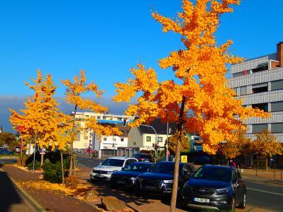 Foto zur Meldung: Baum des Monats – Der Fächerblattbaum (Ginkgo biloba)