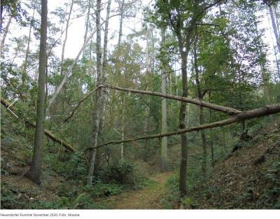 umgestürzte Bäume in der Rummel, Neuendorfer Rummel November 2020; Foto: Straube