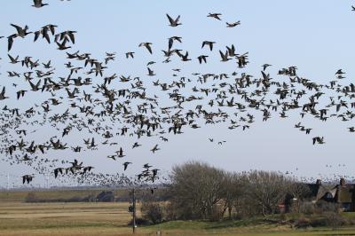 Foto zur Meldung: Geflügelpest bei Hausgeflügel - Kreis Nordfriesland legt Beobachtungsgebiet fest