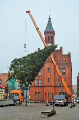 Stadt Perleberg |  Firma Schröder Transporte unterstütz auch in diesem Jahr den Stadtbetriebshof beim Aufstellen des Baums.