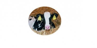 Bild der Meldung: Geburtshilfe beim Rind 02.12.2020 -ausgebucht-