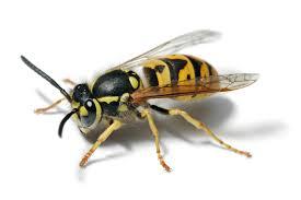 Hochsommerzeit ist Wespenzeit
