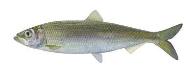"""Bild: """"DAFV, Eric Otten"""" Atlantischer Hering - Fisch des Jahres 2021"""
