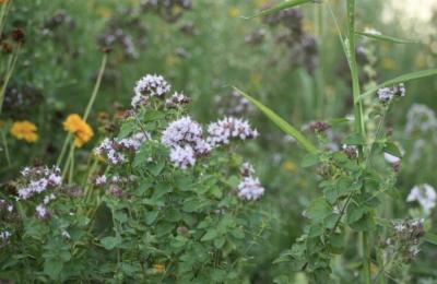 Foto zu Meldung: Wildblumenwiesen in Rehfelde