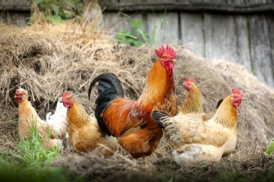 Foto zu Meldung: Geflügelpestvirus auf dem Vormarsch