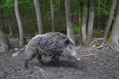Maßnahmen zur Früherkennung der Afrikanischen Schweinepest