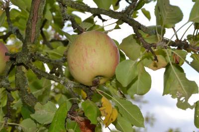 Vorschaubild zur Meldung: Neue Webseminare der Obstbaumschnittschule