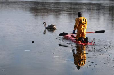 Foto zu Meldung: Schwanrettung auf Gohlitzsee