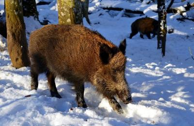 Wildschwein im Schnee Quelle: https://pixabay.com/de/photos/wildschwein