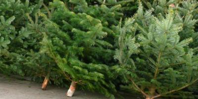 Entsorgung Weihnachtsbäume
