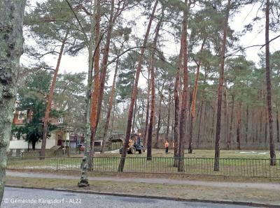 Fällung erkrankter Waldkiefern neben Rangsdorfer Oberschule