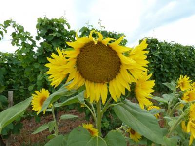 Debbie Reay- Sunflower