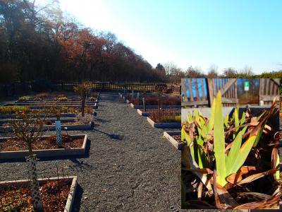 Foto zur Meldung: Ein Jahr im Kräutergarten an der Berzallee Die Schwertlilie (Iris germanica) – Heilkraut des Monats März
