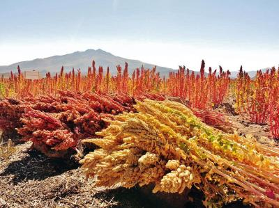 Quinoa - das Wunderkorn der Inka