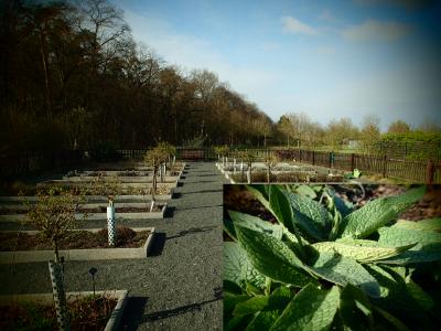 Foto zur Meldung: Ein Jahr im Kräutergarten an der Berzallee Echter Beinwell (Symphytum officinale) – Heilkraut des Monats April