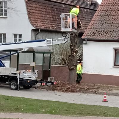 Schnitt der Gemeindebäume