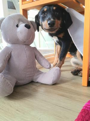Foto zur Meldung: Hundewelpe Lotte