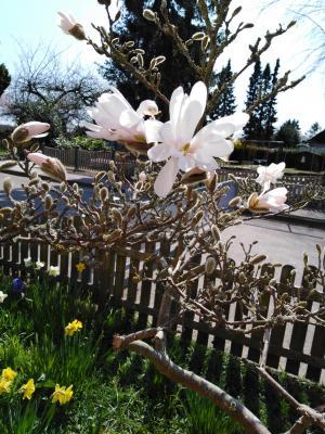 weiße Magnolie in Blüte