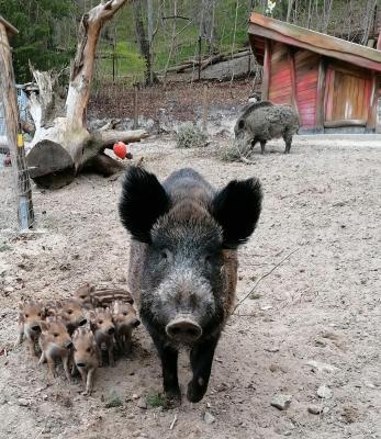 7 kleine Schweinchen