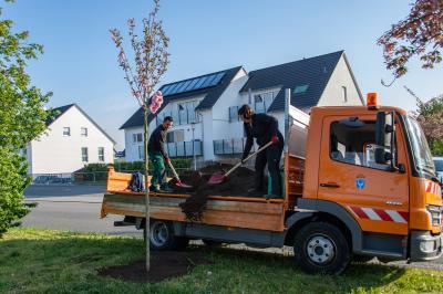 Foto zur Meldung: Bauhof pflanzt neue Bäume als Ersatz für abgestorbene oder beschädigte Exemplare