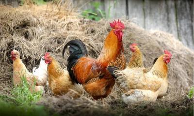 Hahn, Hühner; Quelle: https://pixabay.com/de/photos/h%C3%BChner-v%C3%B6gel-gefl%C3%BCgel-hahn-hen-2522623/