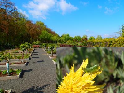 Foto zur Meldung: Ein Jahr im Kräutergarten an der Berzallee Gewöhnlicher Löwenzahn (Taraxacum officinale) – Heilkraut des Monats Mai
