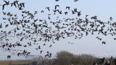 Foto zur Meldung: Geflügelpest: Aufstallungspflicht in Nordfriesland aufgehoben