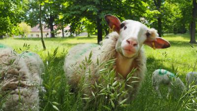 Foto zur Meldung: Schafe im Kirchgarten - so schön die Lämmer zu beobachten