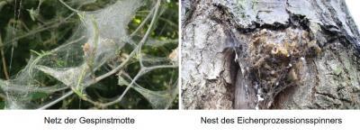 Gespinstmotten breiten sich aus – Hinweise zur Unterscheidung von Eichenprozessionsspinnern