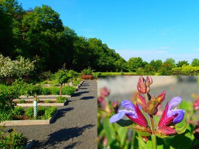 Foto zur Meldung: Ein Jahr im Kräutergarten an der Berzallee Der Echte Salbei (Salvia officinalis) – Heilkraut des Monats Juni