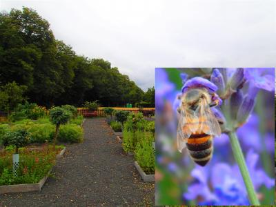 Foto zur Meldung: Ein Jahr im Kräutergarten an der Berzallee Der Echte Lavendel (Lavandula angustifolia) – Heilkraut des Monats Juli
