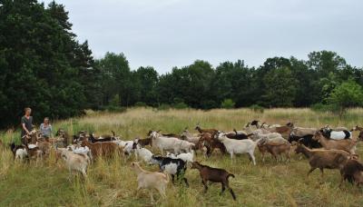Herde in Bewegung