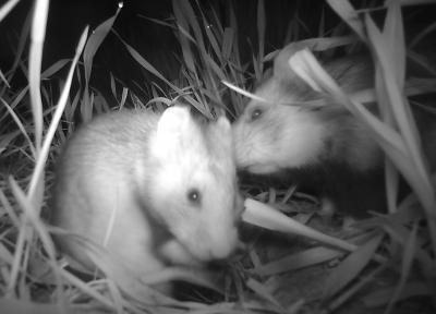 Aufnahme der Wildkamera: Feldhamster beschnuppern sich