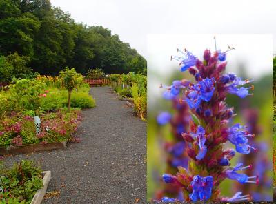 Foto zur Meldung: Ein Jahr im Kräutergarten an der Berzallee Ysop (Hyssopus officinalis) – Heilkraut des Monats August