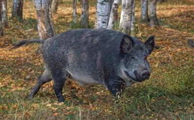 Wildschwein im Wald, Quelle: https://pixabay.com/de/photos/die-natur-wald-schwein-wildschwein-4997531/
